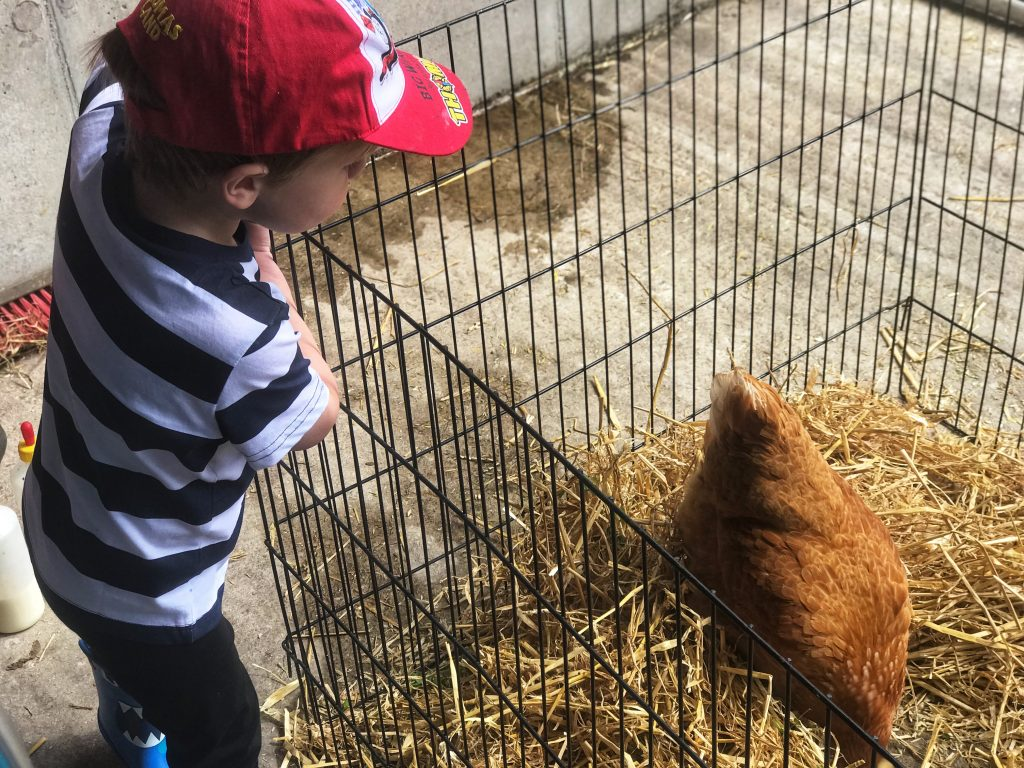 Dexter looking down at a chicken in a cage at Taylor's farm on leaf Open farm Sunday